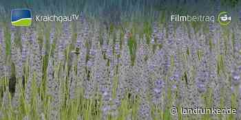 Ubstadt-Weiher   Lavendelduft liegt in der Luft - Landfunker