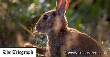 Deadly rabbit virus nicknamed 'bunny ebola' spreading rapidly across southern US - Telegraph.co.uk