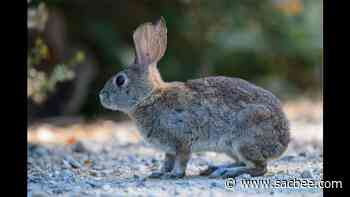 'Bunny ebola' burning through rabbit populations across US. Why experts are worried - Sacramento Bee