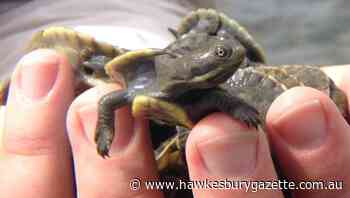 Hawkesbury research shows eco importance of turtles - Hawkesbury Gazette
