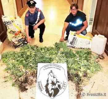 """Piantagione di """"erba"""" a Pedara. Arrestato 34enne di Mascalucia - Live Sicilia"""