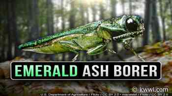 Emerald Ash Borer found in Mason City - kwwl.com