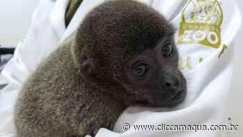Zoológico de Gramado constrói espaço aquecido para macacos-barrigudo que vêm do Norte - Clic Camaquã - Portal de Notícias