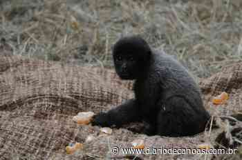 Macacos-barrigudo ganham espaço aquecido no Gramadozoo - Diário de Canoas