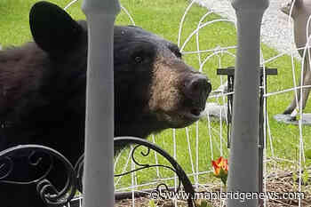 VIDEO: Co-habitating with bears – Maple Ridge News - Maple Ridge News