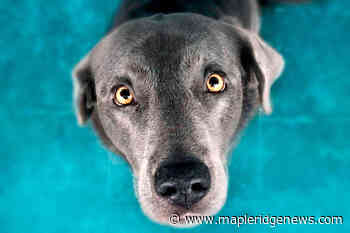QUIZ: A celebration of dogs – Maple Ridge News - Maple Ridge News