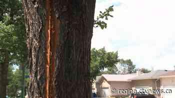 'Big ball of light': Lightning hits tree in Regina resident's front yard - CTV News