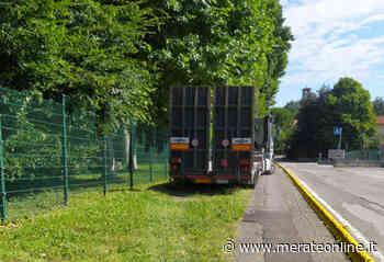 Merate: bisonte sulla pista ciclabile - MerateOnline - Merate Online