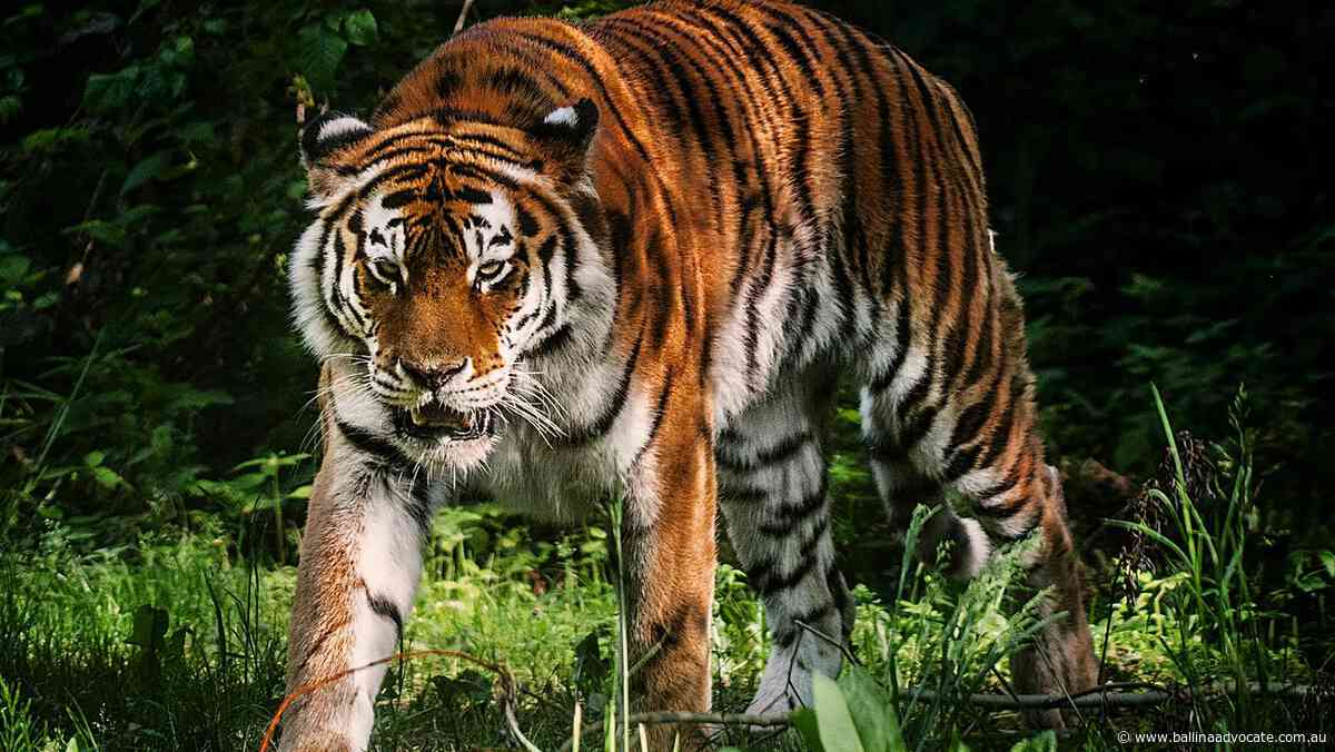 Tiger kills zookeeper in front of crowd - Ballina Shire Advocate