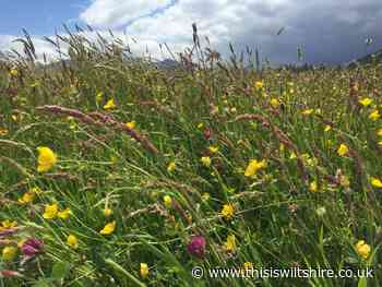 Reduced mowing helps wildflowers blossom in Haydon Wick - This Is Wiltshire