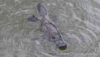 Watch a platypus frolic in the Bega River - The Rural