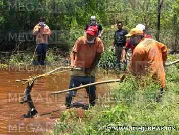 Encuentran un cocodrilo en un terreno de Tixkokob - Meganews