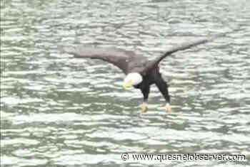 VIDEO: Musqueam Chief captures captivating footage of bald eagle catching meal - Quesnel Cariboo Observer