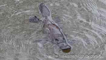 Watch a platypus frolic in the Bega River - Illawarra Mercury