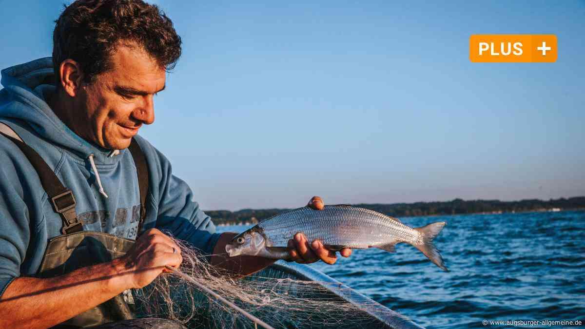 Sind die Ammersee-Renken vom Aussterben bedroht?
