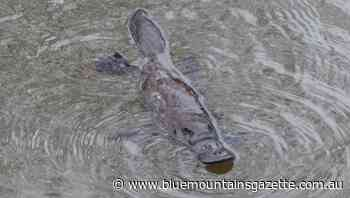 Watch a platypus frolic in the Bega River - Blue Mountains Gazette
