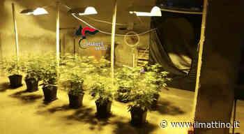 Casoria, serra per la marijuana in casa con allaccio abusivo all'elettricità - Il Mattino