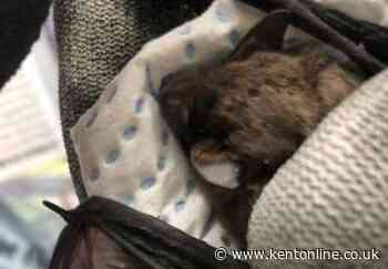 Frantic search to reunite baby bat with mum