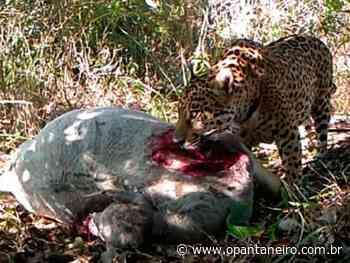 Câmera flagra onça se alimentando de bezerro em fazenda de Aquidauana - O Pantaneiro