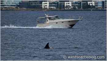 WHALE-WATCHING: Orcas in Elliott Bay   West Seattle Blog... - West Seattle Blog