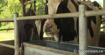 Heat, lack of rain starting impact agriculture in Kingston, Frontenac, Lennox, Addington
