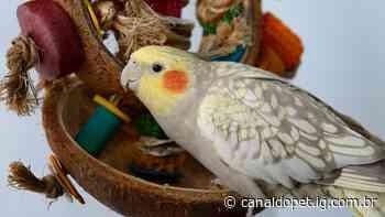 Calopsitas e papagaios podem tomar chá! Saiba quais - Canal do Pet