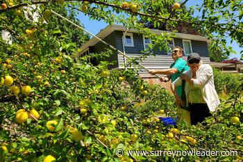 Community fruit harvest program returns to Surrey, White Rock - Surrey Now-Leader