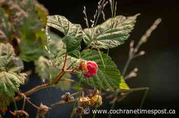 Growing Things: Address soil issues to keep grapes and raspberries growing - Cochrane Times Post