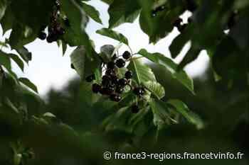 2020, un excellent cru pour le kirsch de Fougerolles en Haute-Saône - France 3 Régions