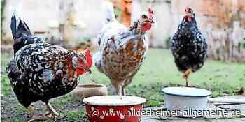 Gronau: Hühner nur erlaubt, wenn die Nachbarn zustimmen? - www.hildesheimer-allgemeine.de