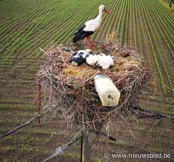 Nest vat vuur op verlichtingspaal, maar ooievaarsgezinnetje ... (Kapelle-op-den-Bos) - Het Nieuwsblad