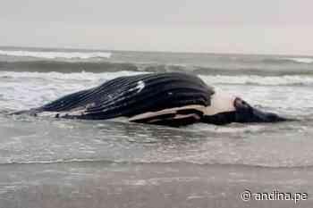 Imarpe reporta varamiento de ballena jorobada en Puerto Eten - Agencia Andina