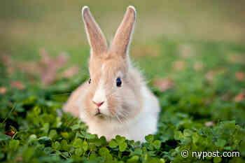 Deadly new 'bunny Ebola' killing thousands of rabbits across US - New York Post