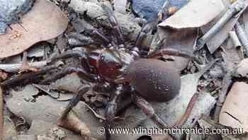 New trapdoor spider group found on coast - Wingham Chronicle