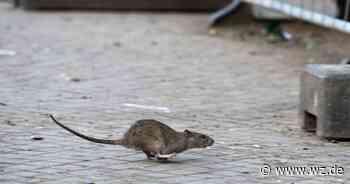 Gibt es eine Rattenplage an der Saumstraße in Krefeld? - Westdeutsche Zeitung