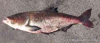 Bigheaded carp pose big threat, new model suggests - Spartan Newsroom - Spartan Newsroom