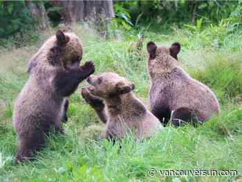 Grizzly cubs from Alberta find new home at Greater Vancouver Zoo