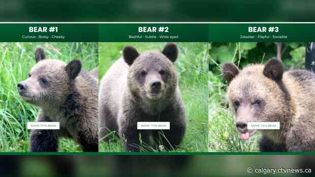 Trio of orphaned grizzly bear cubs moved from Calgary Zoo to Greater Vancouver Zoo