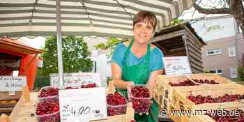Rot, rund und süß: Hochtouren bei Süßkirschenernte auf Obsthof Martin bei Zeitz - Mitteldeutsche Zeitung
