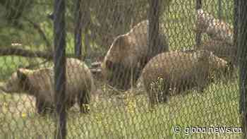 Triplet grizzly bear cubs from Alberta find new home at B.C. zoo