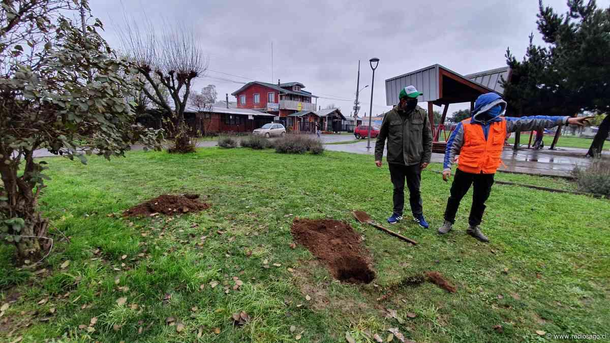 Comenzó nueva etapa de arborización en espacios públicos de Purranque - Radio Sago