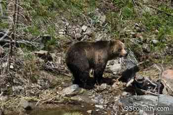 Court Ruling: Wyoming Grizzly Bears Won't Be Hunted