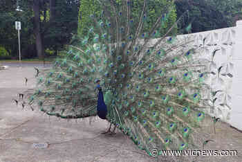 Aggressive peacock removed from Victoria building entrance after attacking resident - Victoria News