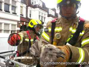 Rescue volunteers help save seagull stuck on spikes in Belsize Park - Camden New Journal newspapers website