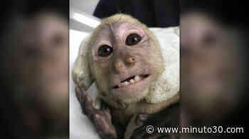 Cornare rescató a 1 mono en Cocorná - Minuto30.com