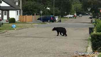Black bear spotted roaming the streets of Thunder Bay, Ont.