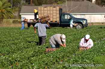 Local health unit issues order for migrant farm workers in Kawartha Lakes, Northumberland, and Haliburton - kawarthaNOW.com