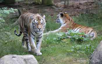 Ausflugstipp: Eisbombe für Tiger im Zoo Eberswalde - Märkische Onlinezeitung