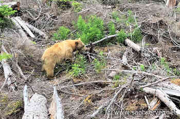 Conservation officers relocate Spirit Bear known to roam northwestern BC - Salmon Arm Observer