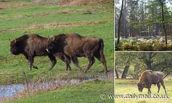 Wild BISON will roam British woodland for the first time in thousands of years